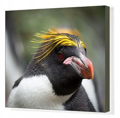 inch mm) wooden frame with digital mat and print (other products available) - Head shot of an inquisitive Macaroni Penguin with colorful head feathers and red beak. - Image supplied by Australian Views - Framed Print made in the USA Image Tigre, Image Panda, Macaroni Penguin, Penguin Animals, Thing 1, Canvas Prints, Art Prints, Pet Portraits, Family Portraits
