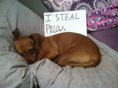 """I steal pillows."" ~ Dog Shaming shame - Dauschound"
