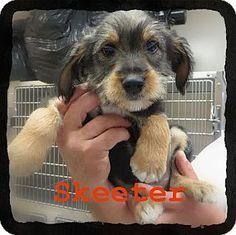 Old Saybrook, CT - Schnauzer (Miniature)/Beagle Mix. Meet Skeeter, a puppy for adoption. http://www.adoptapet.com/pet/11646917-old-saybrook-connecticut-schnauzer-miniature-mix