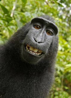 A macaque monkey takes a selfie on the Indonesian island of Sulawesi with a camera owned by British nature photographer David Slater. (Photo by Naruto the Macaque/David Slater/PETA/AP) Primates, Gorilla Gorilla, Baby Animals, Funny Animals, Cute Animals, Smiling Animals, Monkey Smiling, Wild Animals, Animals Images