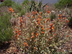 Orange Western Wild Flowers