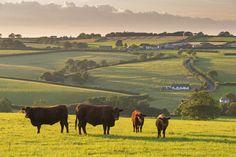 North Devon Red Ruby cattle herd grazing in the rolling countryside, Black Dog, Devon, England, United Kingdom, Europe