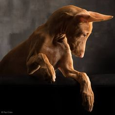 Podenco by Paul Croes