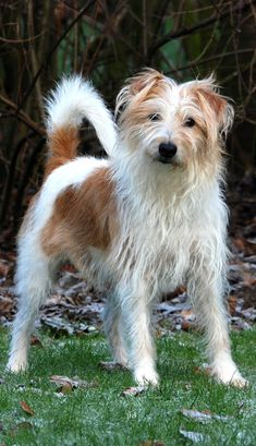 Kromfohrländer Different Breeds Of Cats, Terrier Mix, Terriers, The Perfect Dog, Jack Russell Terrier, Dog Photography, Cat Breeds, Cute Dogs, Dogs And Puppies