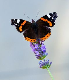 Red admiral butterfly (Vanessa atalanta), Apt, Provence, France