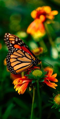 About Wild Animals: Beautiful monarch butterfly Pictures Of Monarch Butterflies, Beautiful Butterfly Pictures, Beautiful Bugs, Beautiful Butterflies, Animals Beautiful, Butterfly On Flower, Butterfly Drawing, Butterfly Painting, Monarch Butterfly