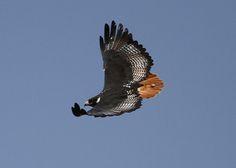 Augur Buzzard in flight | Augur Buzzard (Buteo augur) Gefers… | Flickr