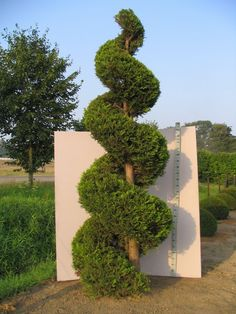Cupressocyparis leylandii - Leylandii, 'Castlewellan Gold', spiral topiary.