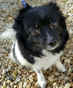 Meet Shelly, an adoptable Pomeranian looking for a forever home. If you're looking for a new pet to adopt or want information on how to get involved with adoptable pets, Petfinder.com is a great resource.