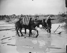 WWI, 1 Aug 1917, near Ypres. Shell-carrying pack mules moving forward through the mud. Railway line in the background. Battle of Passchendaele-Battle of Pilckem Ridge. ©IWM (Q 5940)