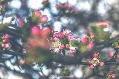 APPLE TREE BLOSSOM I