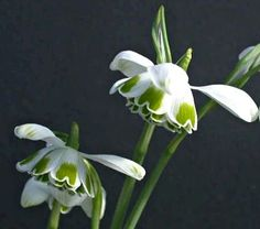Hippolyta', named for the Amazon queen of Greek mythology, is one of the fine double Snowdrops raised by H. A. Greatorex of Norwich, England, in the 1940s.