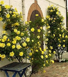 Photo of the rose 'Golden Showers' Garden Shrubs, Garden Trellis, Lawn And Garden, Fine Gardening, Container Gardening, Beautiful Roses, Beautiful Gardens, Rose Foto, Best Roses