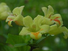 Gelbbluetige Weigelie Bluete gelb rosa Weigelia middendorfiana