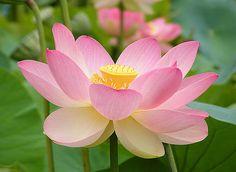 A Flor de Lótus e a Dengue | Flores - Cultura Mix