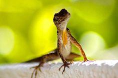 Een hagedisje in onze tuin Happy Turtle Apartments Curacao Happy Turtle, Animals, Animales, Animaux, Animal, Animais
