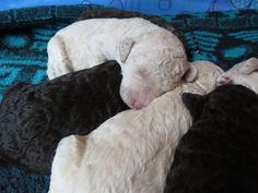 Labradoodle Puppies - Cream and Chocolate