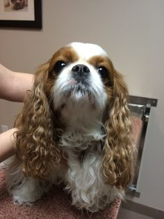 "This is Khaki, a 4 year old female King Charles Cavalier Spaniel. Khaki suffers from a condition known as ""progressive secretory otitis media"", also known as PSOM. This is when a mucus like material builds up in the middle ear, putting pressure on the ear drum and also on the inner ear. Khaki has seen Dr. Karin Beale in our dermatology department to help with her condition. Now she can hear it when the cookie jar opens!"