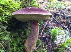 A healthy mushroom in Squamish.