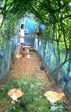 Grow vines over chicken coop. Shade for the chickens and if the vine dropped excess fruit - Self feeding chicken coop!