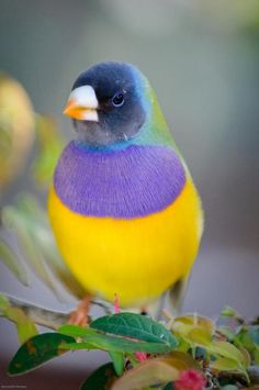 lady Gouldian Finch / birds around the world Pretty Birds, Love Birds, Beautiful Birds, Animals Beautiful, Cute Animals, Animals Amazing, Pretty Animals, Baby Animals, Exotic Birds