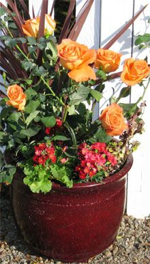 great site for growing roses in containers