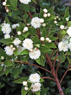 Myrtle is a sun-loving evergreen Mediterranean shrub with aromatic  foliage. Masses of fragrant white pom-pom flowers appear in late  summer.