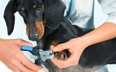 Nail Trimming is an Essential Part of Dog Grooming Trim nails are a clear sign of your dog's good hygiene. Professional groomers will perform the tas Cat Nail Clippers, Dog Clippers, Trimming Dog Nails, How To Cut Nails, Cat Nails, Trim Nails, Diy Stuffed Animals, Dog Care, Large Dogs