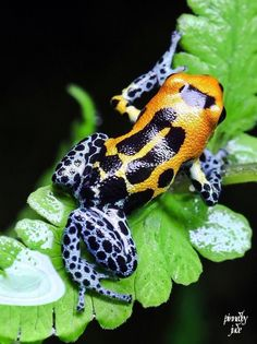 How can something so beautiful be poisonous? Reptiles And Amphibians, Mammals, Beautiful Creatures, Animals Beautiful, Animals And Pets, Cute Animals, Amazing Frog, Photo Animaliere, Poison Dart Frogs