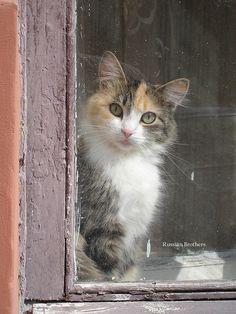 Calico cat in window