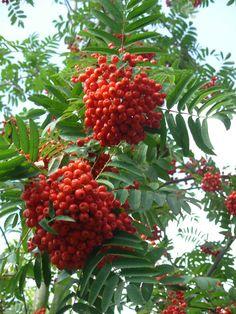 Mountain Ash tree aka Rowan tree, one of my all time favorite trees