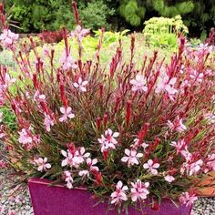 A new Gaura with red/green leaves. Flowers abundantly with light pink flowers, from spring to late summer. Light Pink Flowers, Spring Plants, Dirt Cheap, Planting Flowers, Potted Flowers, Annual Plants, Plant Sale, Green Leaves, Red Green