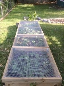 Growing strawberries - 12 feet by 3.25 feet; and has four hinged lids with hooks and handles. The lids have hardware cloth to let the pollinators in and still keep the birds and squirrels out.