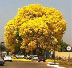 Flowery Ypê - Goiania, Brasil