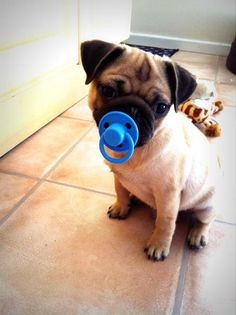 Pacified #pug. #watchwigs www.youtube.com/wigs