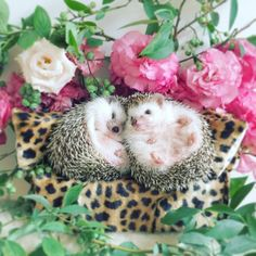 Hedgehog of the Day ( Happy Hedgehog, Hedgehog Art, Cute Hedgehog, Happy Animals, Cute Baby Animals, Super Cute Puppies, Virtual Pet, Beautiful Creatures, Fur Babies