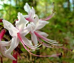 Nature: The Pinxter-flower, Rhododendron periclymenoides (nudiflorum), is a wild azalea native to the eastern U. from South Carolina northward. Beautiful Gardens, Beautiful Flowers, Residential Landscaping, Plant Zones, Landscape Maintenance, Garden Trees, Spring Garden, Native Plants, Flower Beds