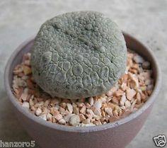 Pseudolithos Cubiformis Cactus Succulent Not Migiurtinus