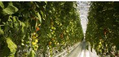 """""""Les produits sont d'une fraîcheur exceptionnelle –ils sont livrés dans la cité québécoise le jour de la cueillette-, et ont énormément de goût, car, assurent, les propriétaires ils sont cultivés sans pesticide, fongicide ou herbicides synthétiques.""""... http://www.challenges.fr/monde/20160326.CHA6866/canada-la-premiere-ferme-situee-sur-le-toit-d-un-immeuble.html#"""
