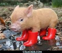 Baby Pigs - Bing Images