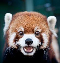 Information about types of pandas that exist in the world. Not only that, you can find fun facts about giant pandas and red pandas too. Fluffy Animals, Cute Baby Animals, Animals And Pets, Smiling Animals, Baby Pandas, Red Panda Cute, Panda Love, Panda Panda, Photo Panda