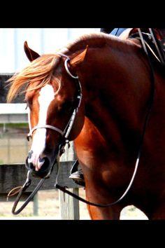 Cutting western quarter paint horse appaloosa equine tack cowboy cowgirl rodeo ranch show pony pleasure barrel racing pole bending saddle bronc gymkhana