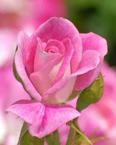 Shade Garden Flowers And Decor Ideas Pink Rose Beautiful Rose Flowers, Rare Flowers, Pretty Roses, Love Rose, Amazing Flowers, Pink Flowers, Ronsard Rose, Flower Pictures, Color Rosa
