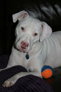 CONCORD, CA - APPLE is an AMERICAN PIT BULL TERRIER searching for a forever family