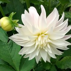 Oreti Candy White Gardens, Sustainable Living, Candy, Dahlias, Plants, Flowers, Dahlia, Dahlia Flower, Sweets