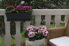 #Franse #Geranium #Edelgeranie #Regal #Pelargonium #Grandiflorum #garden #plants #flowers #balcony