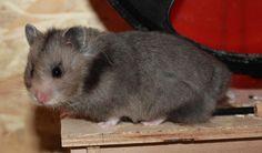 Dark grey umbrous LH - Hamsterzucht von Sweetness
