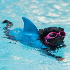 Pugs Like if you would let this shark attack you<br> Cute Pugs, Cute Puppies, Dogs And Puppies, Terrier Puppies, Funny Pugs, Boston Terrier, Corgi Puppies, Bull Terriers, Doggies