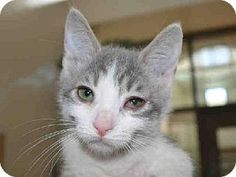 This cute and adorable little girl kitten is HERA.  She is available for adoption at Contra Costa Animal Services in Martinez, CA.  Won't you consider giving a gorgeous little kitten a FOREVER loving home.  Please network & share so we may find HERA a home.
