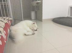 Yuki : it's been really hot lately and no wonder that I shed like a melting snowman and I guess I will be having my loop period next month sighs #yukikosamoyed #dog #samoyed #dogoftheday #dogstagraming #iflmdog #lacyandpaws by teamyukimiku